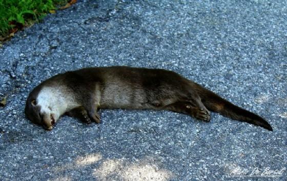 L'esemplare di lontra investito a Tarvisio (© De Bortoli)