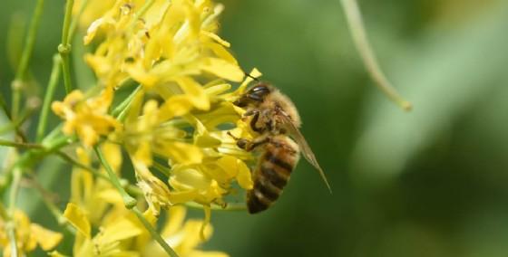 Donna rischia la vita per la puntura di un'ape (© Adobe Stock)