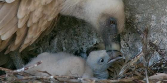 Il giovane grifone nato nella Riserva di Cornino (© Riserva di Cornino)