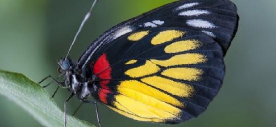 Una delle farfalle di Bordano (© Francesco Barbieri)