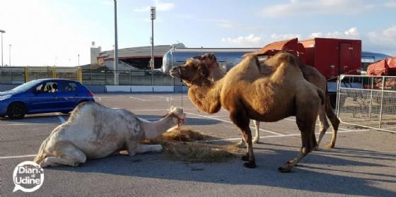 Alcuni degli animali detenuti nel parcheggio del Friuli (© Diario di Udine)