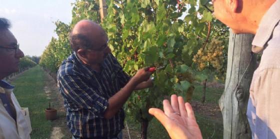 Uno degli indiani in visita alle vigne di Buttrio (© Diario di Udine)