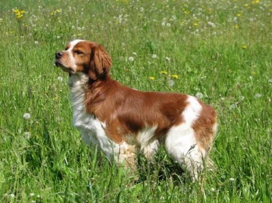 Un esemplare di Breton bianca e marrone (© cani.com)