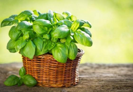 Basilico e prezzemolo: una ricerca svela che hanno proprietà antibatteriche