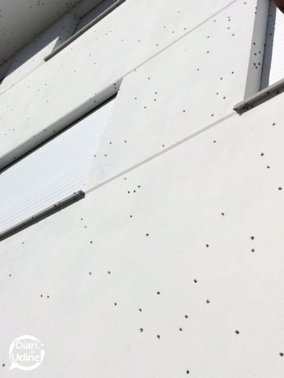 Centinaia di cimici sulle case di Martignacco