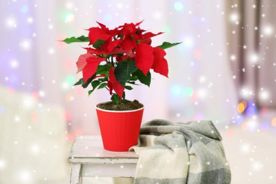 La Stella di Natale, è bella ma pericolosa (© Africa Studio | shutterstock.com)