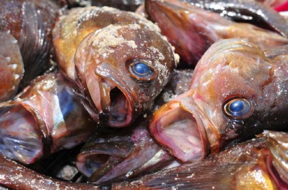 Pesce avariato (© Maxim Tupikov | shutterstock.com)