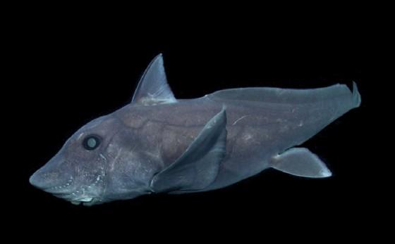 Lo squalo fantasma (© Monterey Bay Aquarium Research Institute)