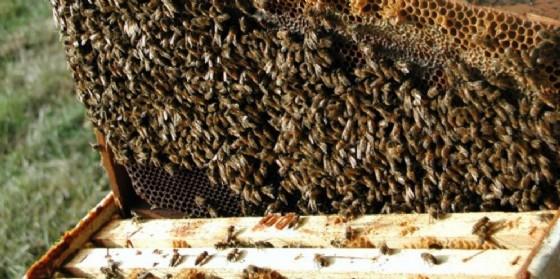 Sostegno agli apicoltori del Fvg (© Diario di Udine)
