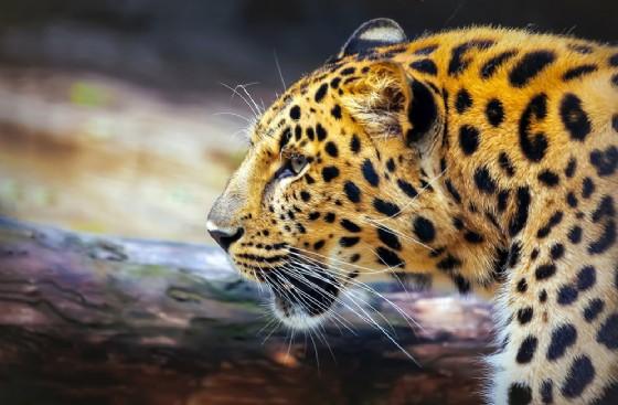 Leopardo (© InnaVar | shutterstock.com)