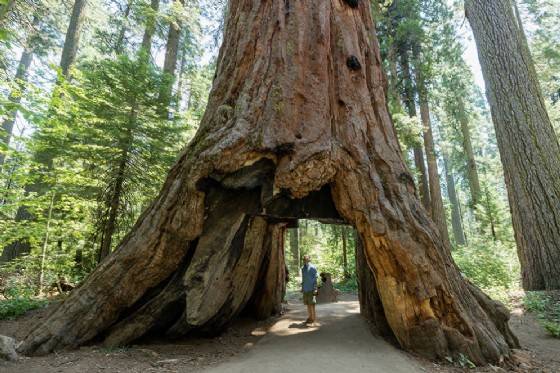 E' caduta a causa dei maltempo la sequoia Pioneer Cabin Tree (© Sam Spicer | shutterstock.com)