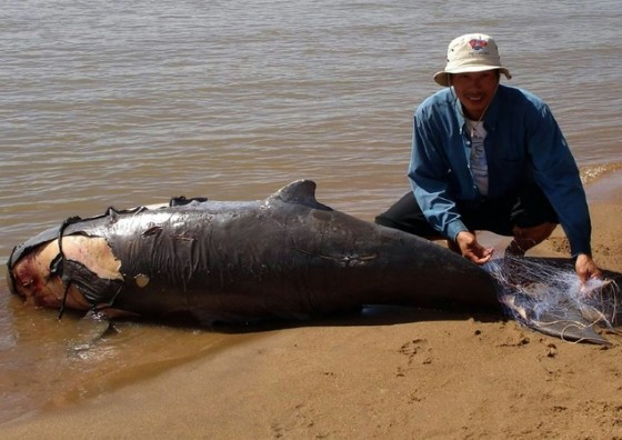 In Laos, the Irrawaddy dolphin was declared «functionally extinct» by the World Wildlife Fund in October 2016