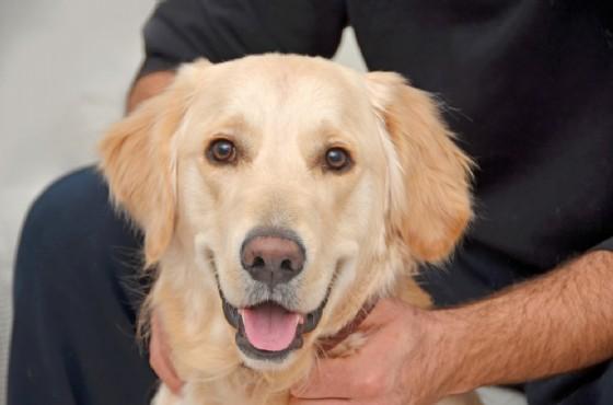 Un Golden retriever ha salvato il suo padrone dall'assideramento (© 0meer | shutterstock.com)