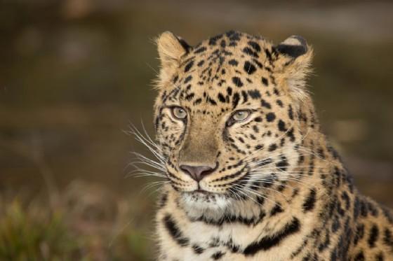 Lo scontro tra un leopardo e un serpente boa (© Warren Metcalf | shutterstock.com)