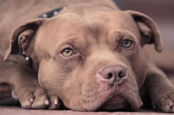Un pitbull, un cane ritenuto pericoloso (© david156 | shutterstock.com)