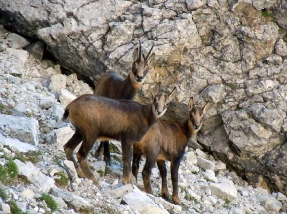 Stambecchi al parco delle Dolomiti di Belluno