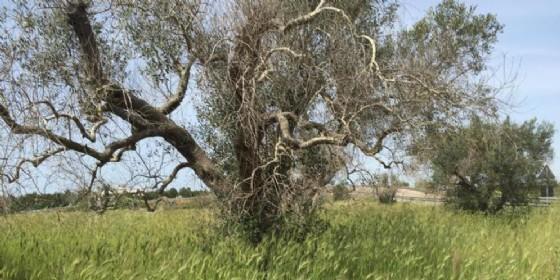 140mila ulivi sono stati distrutti dalla Xylella. (© ANSA)
