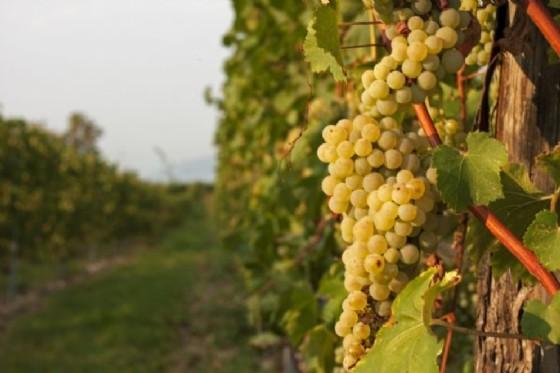 Agricoltura: verso un rapido riconoscimento delle viti resistenti (© Adobe Stock)