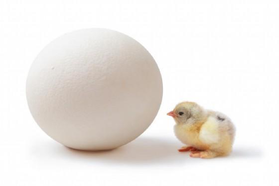 L'uovo del 'pollo gigante'?
