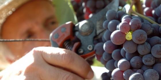 Nacque dal Friuli l'idea di estendere i voucher alla vendemmia (© Diario di Udine)