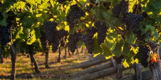 The Global Pinot Noir Masters: medaglia doro al Pinuàr 2015 di Tiare (© AdobeStock | Patrik Stedrak)