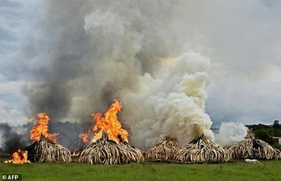 Stacks of elephant tusks and rhinoceros horns are burned after being seized from traffickers at the Nairobi National Park in 2016