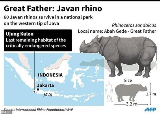 Great Father: Javan rhino