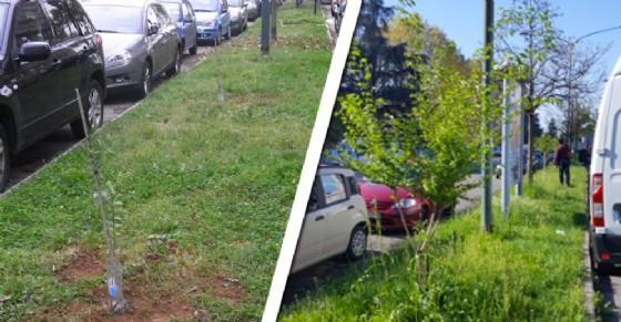 Gli alberi di corso Benedetto Croce: prima piantati dai volontari, poi sradicati dal Comune (© Badili Badola)