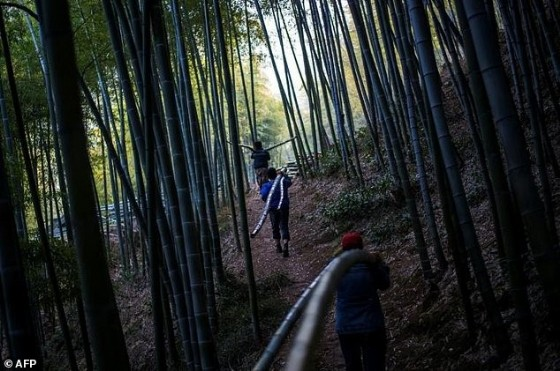 Men carry bamboo through a forest near the city of Lin'an, Zhejiang Province