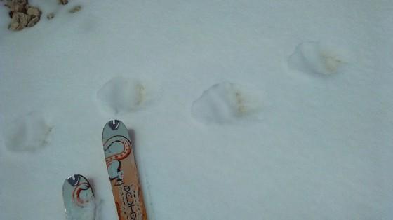 Le tracce di orso 'intercettate' sul Canin (© Roberto Galdiolo)