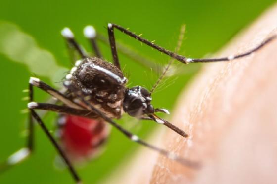 Le zanzare portano anche la Dengue