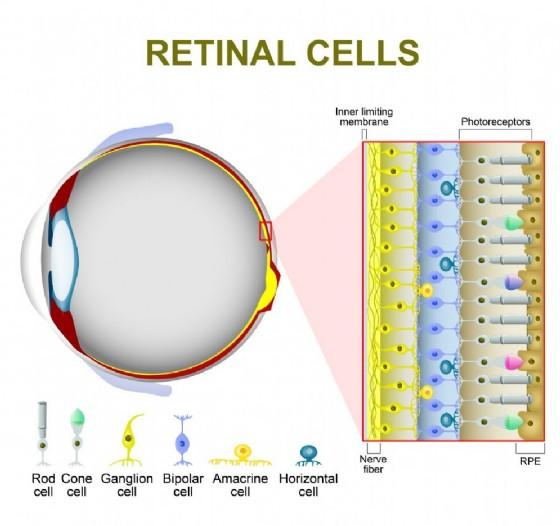 le cellule che compongono la retina