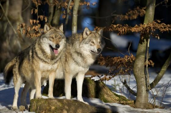 Il ritorno dei lupi nei boschi del Friuli Venezia Giulia e le conseguenze per gli allevamenti saranno i temi al centro dell'incontro pubblico organizzato dalla Regione (© Adobe Stock)
