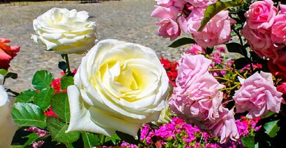 Rose (© Festa delle Rose)