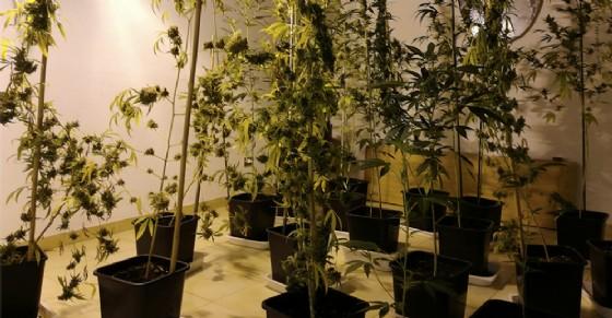 Oltre cento piantine di marijuana in casa