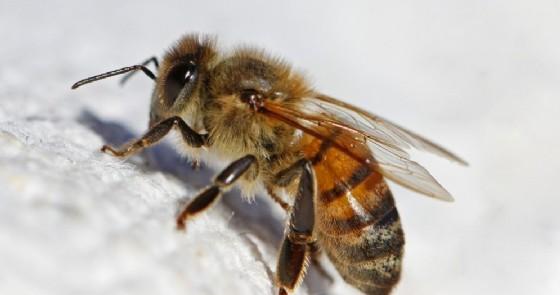 Punture di api vespe e calabroni