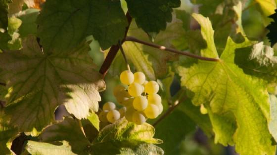 La prima Ribolla gialla della Doc Friuli è di Valle di Buttrio