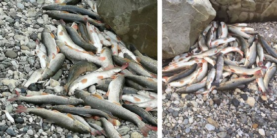 Moria di pesci nel Tagliamento: il M5S contro il dimezzamento della portata deldeflusso minimo vitale (© Sergo)
