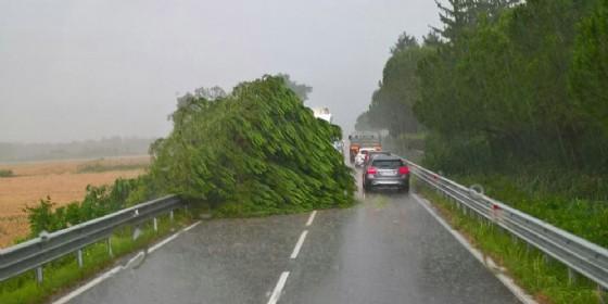 Maltempo: caduto un albero sulla statale, a Manzano. Segnalati i primi allagamenti (© O.C.)