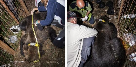 Elisio, il nuovo orso catturato in Carnia per dotarlo di radicolare satellitare (© UniUd)