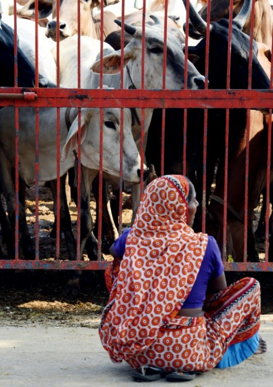 Cows are worshipped as a mother figure by Hindus who make up more than 900 million of India's 1.3 billion population