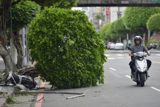 A motorcyclist rides past a damaged tree on a street in New Taipei City after Typhoon Nesat slashed Taiwan
