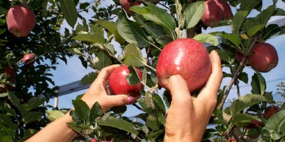 Friulfruct: raccolto di mele con un segno positivo, in qualità e quantità (© Friulfruct)
