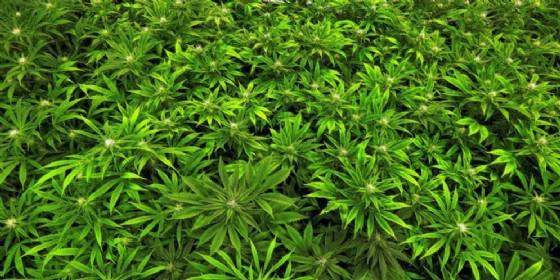 Piante di marijuana (© ANSA)
