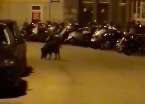 Il cinghiale avvistato l'altra notte (© Diario di Trieste)