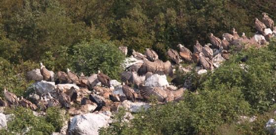 Riserva Naturale del Lago di Cornino: record di grifoni