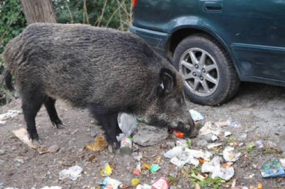 Confagricoltura Fvg: servono misure urgenti per il contenimento della fauna selvatica (© ANSA)