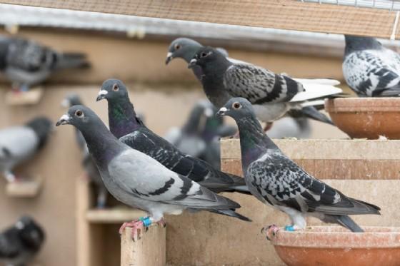 Avvelenata da escrementi di piccione, donna in coma