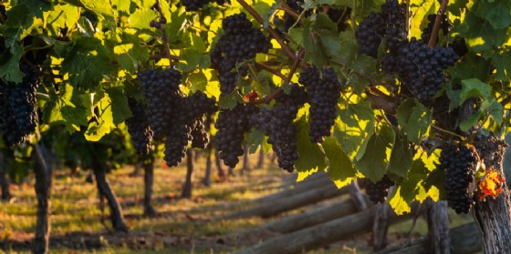 Viticoltura: Shaurli, Ministero conceda più superfici impianto (© Adobe Stock)