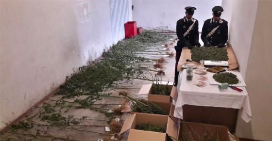 Le piantine sequestrate (© Carabinieri)